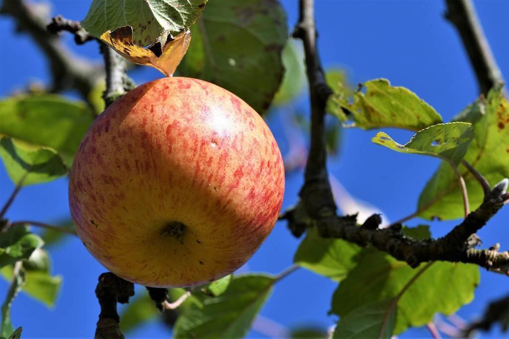 Pommes, jus de pomme, gelée de pomme