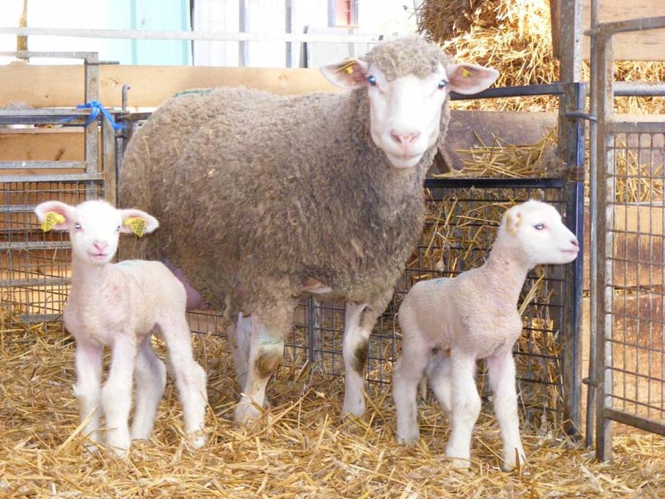 Les vollailes et agneaux de la ferme